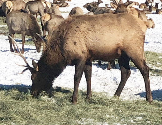 Elk at Hardward Ranch, Hyrum, Utah