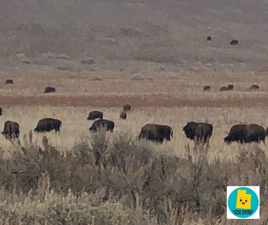 Bison at Antelope Island