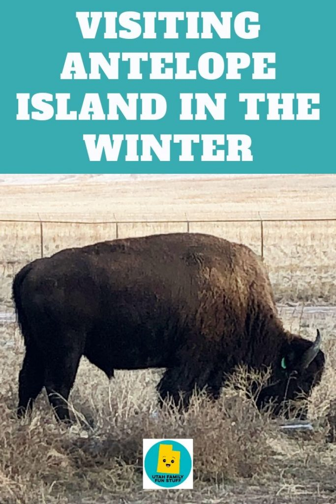 Many people think Antelope Island in Syracuse, Utah, is closed in the winter. But it's open year-round, and winter is a perfect time to see the bison up close. Learn tips for your visit. #utah #saltlakecity #antelope #buffalo #bison
